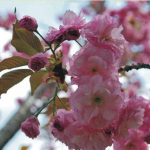 Japanische Blütenkirschen